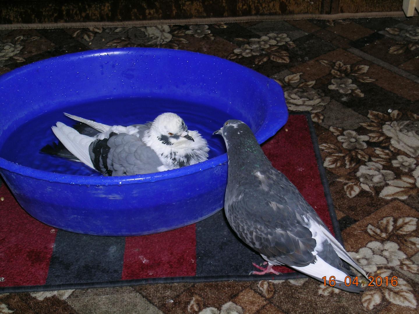 Голубь Малыш купается в тазике. А голубка Синичка ждет своей очереди