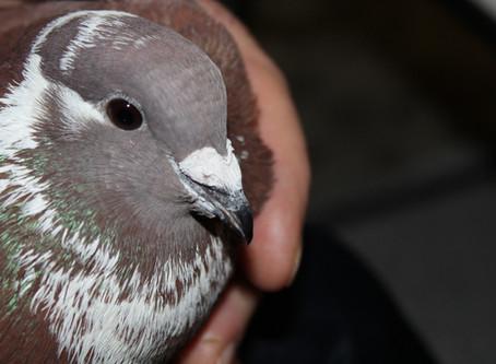 Новые голуби в квартире. Голуби бакинцы-метисы: Красный и Желтая