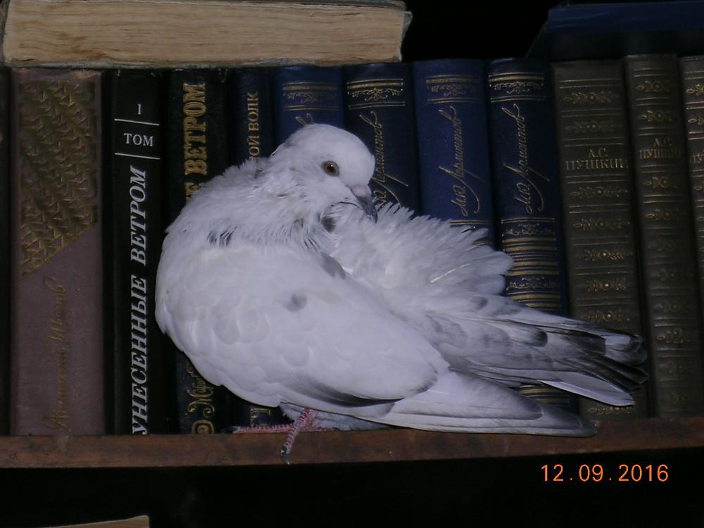 Красивый голубь пакистанец во время линьки