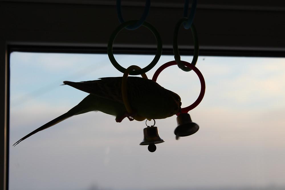 Силуэт волнистого попугая