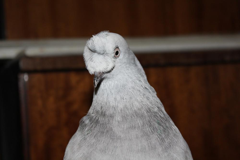Красивый голубь. Носочубый голубь, крупный план. Голубь турок
