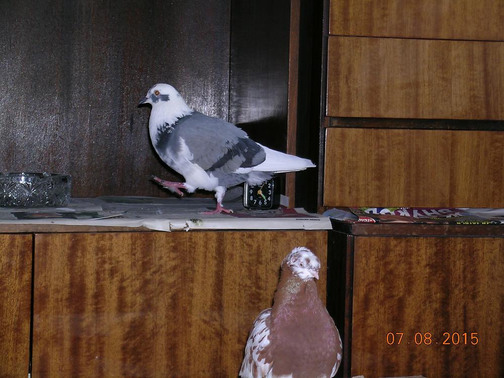 Уличный голубь в квартире