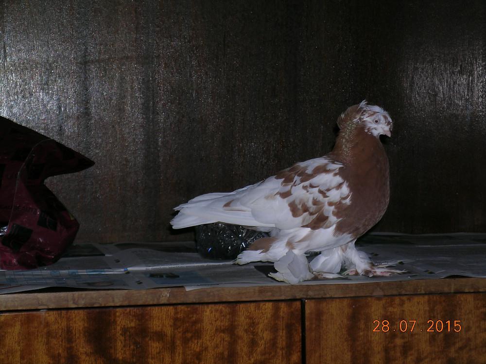 Голубь с мохнатыми ножками. Красивый голубь