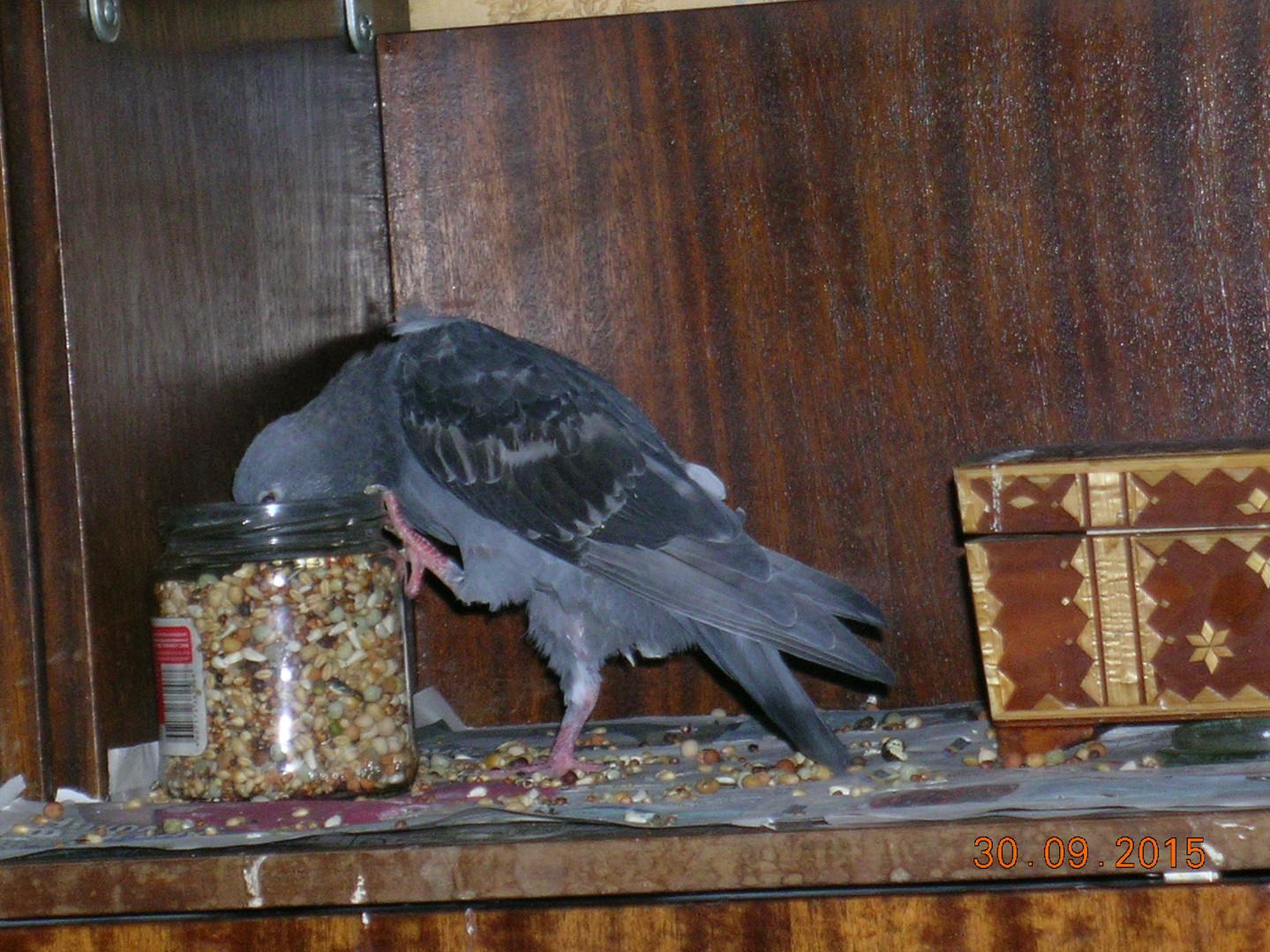 Молодой голубь клюет зерно из баночки