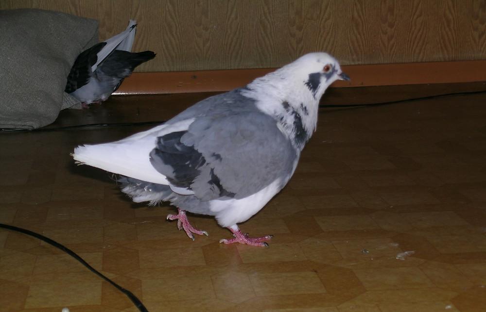 Уличный бело-серый голубь живет в квартире