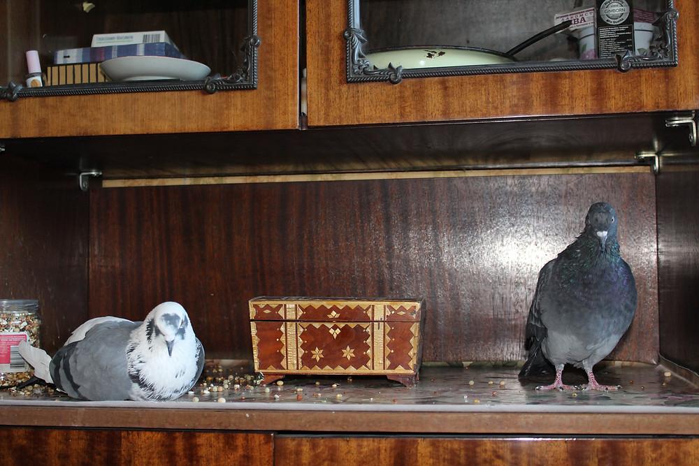 Сизари отдыхают в квартире