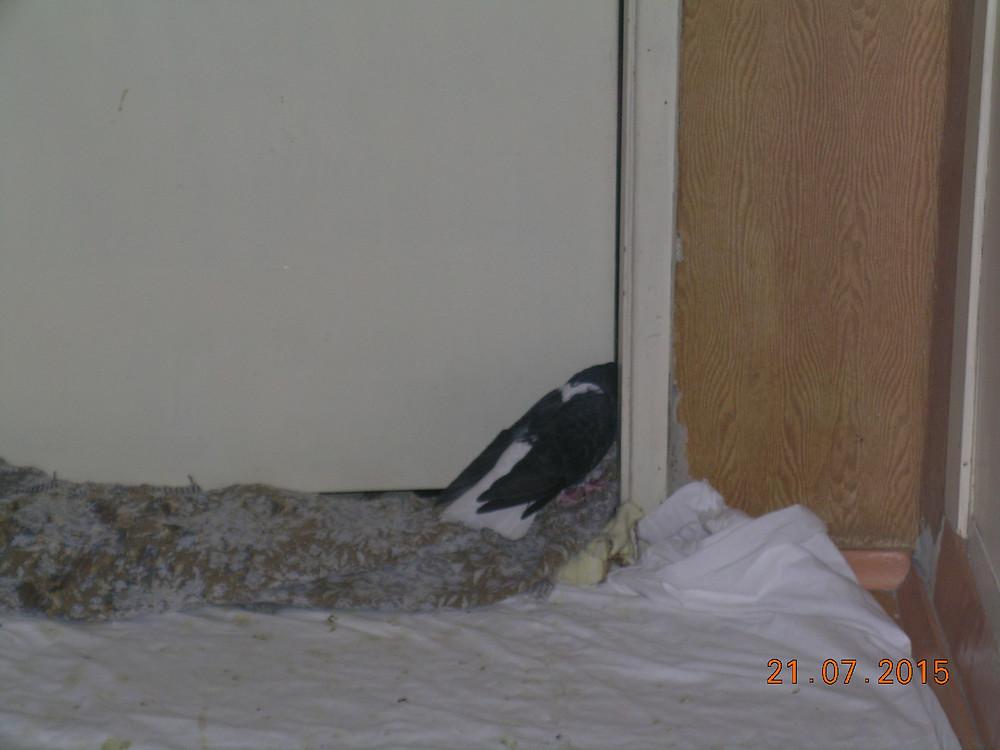 Любопытный голубь в квартире