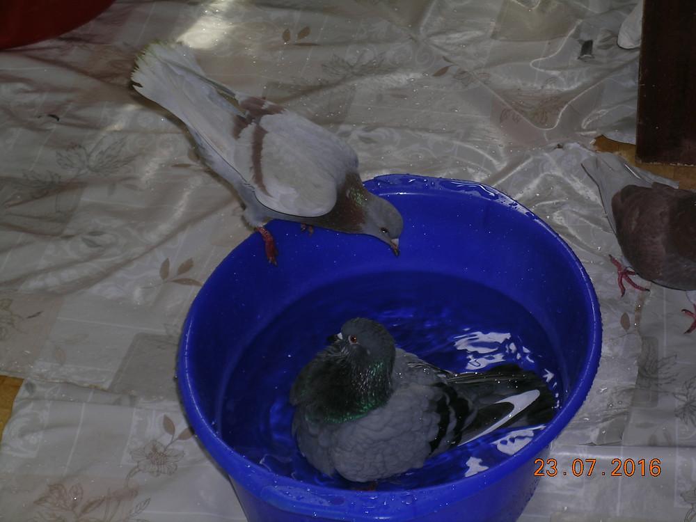 Уличные голуби купаются в тазике