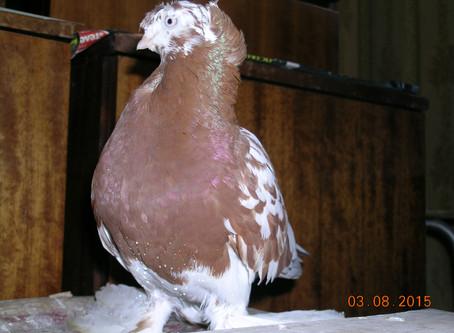 Портрет голубя узбекской декоративной породы Алёнка. Фотографии голубя