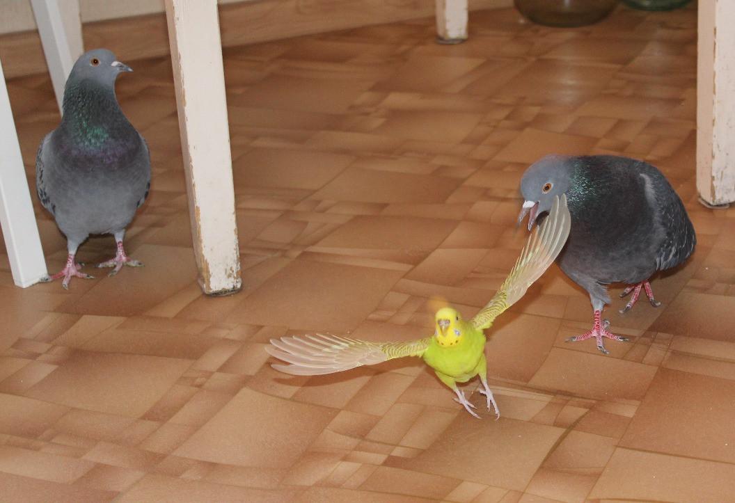 Волнистый попугай надоедает нашим голубям