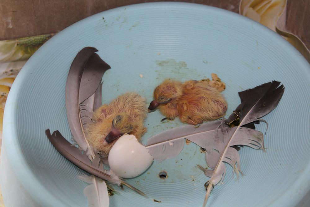 Новорожденные голубята-сизари в гнезде
