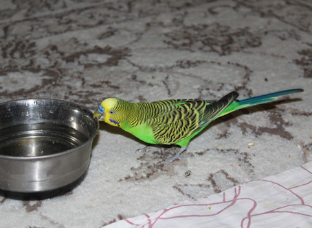 Волнистый попугай и голуби в квартире. Ромка-нахалёнок