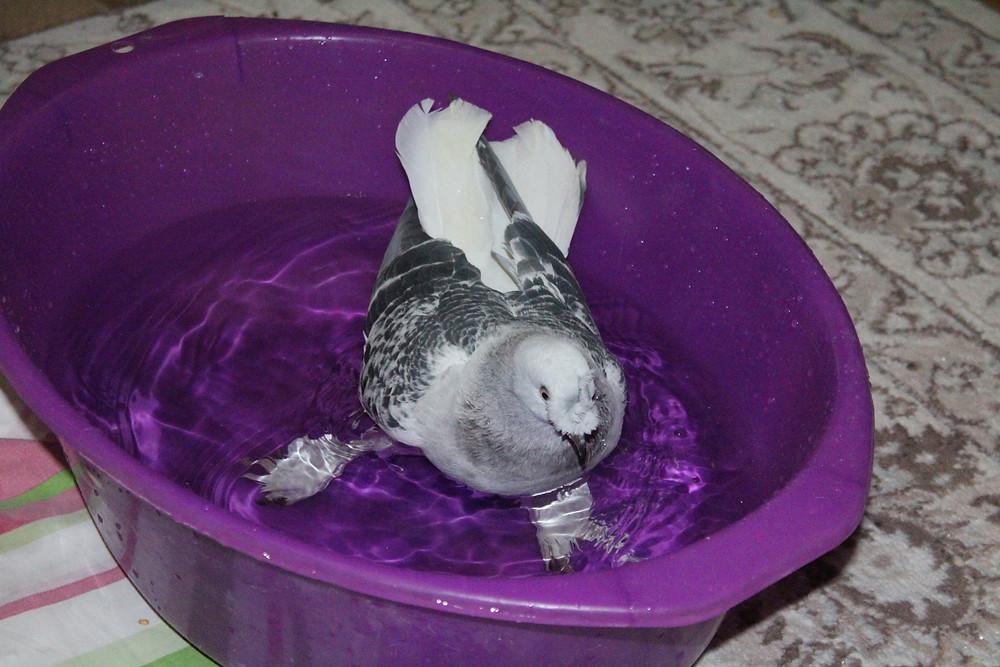 Красивый голубь. Носочубый голубь. Голубь купается