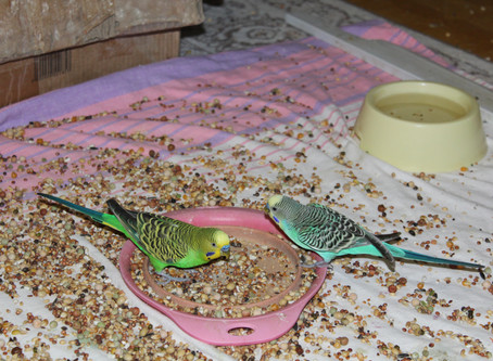 Мои зеленые волнистые попугаи