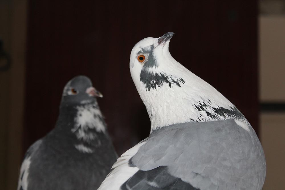 Портрет голубя крупным планом