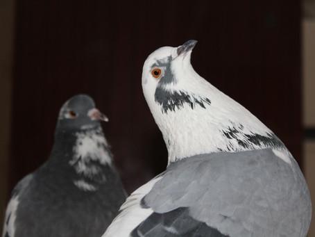 Отравление попугая, канарейки, голубя или другой птицы