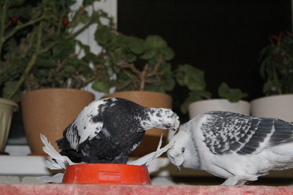 Красивые голуби. Два голубя ухаживают друг за другом