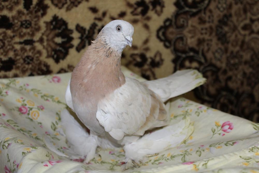 Красивый голубь. Портрет голубя. Голубь породы агаран