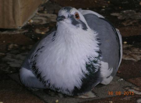 Портрет голубя-сизаря по кличке Белый Малыш