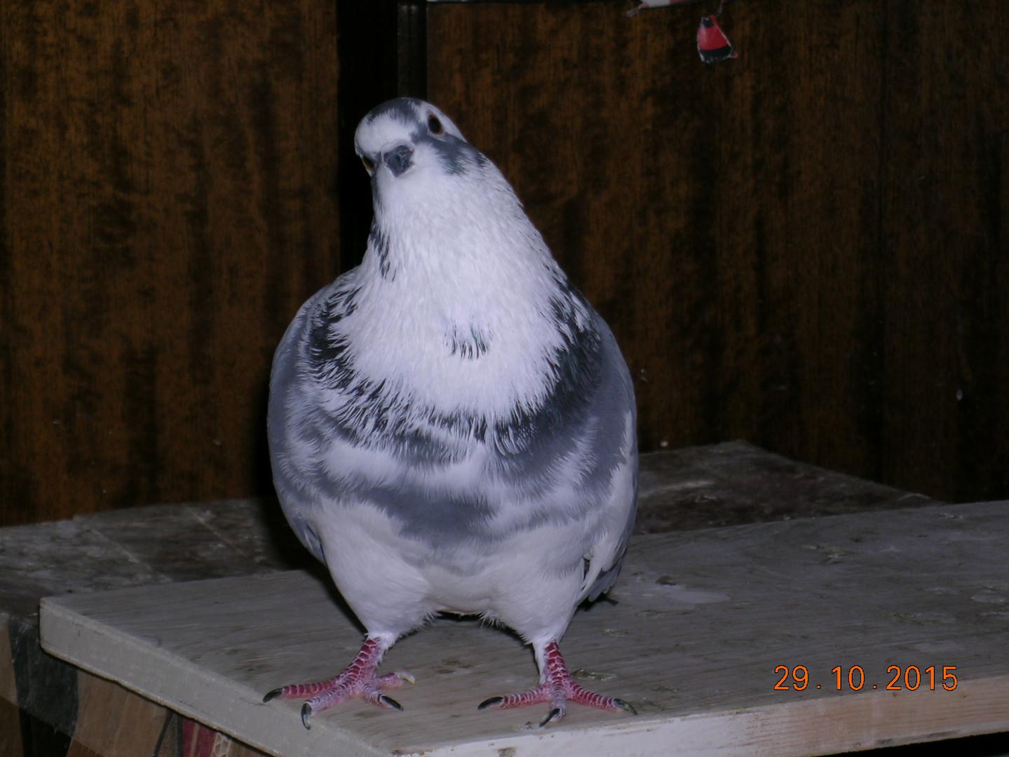 Портрет нашего любимчика уличного бело-серого голубя по кличке Белый Малыш