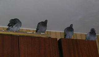 ВЕСЕЛАЯ МАЛЫШНЯ блог о голубях. Молодые уличные серые голуби (сизарики) в квартире на шкафу