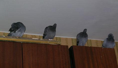 Блог о голубях. Голуби живут в квартире. Уличные голуби в квартире