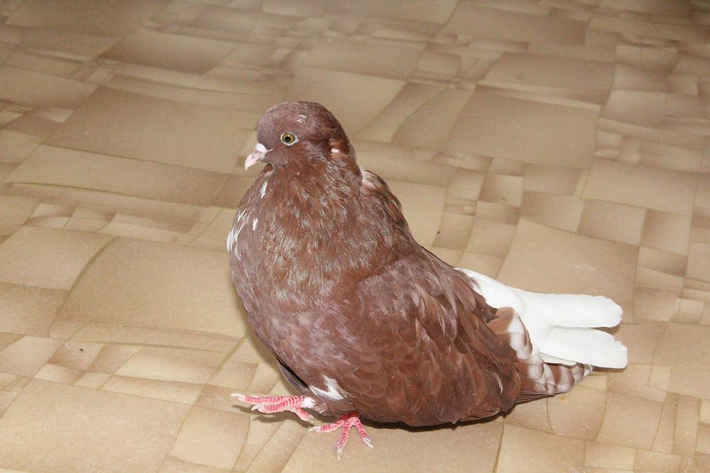 А это голубенок Мишка вырос во взрослого красивого голубя красного окраса с белым хвостом