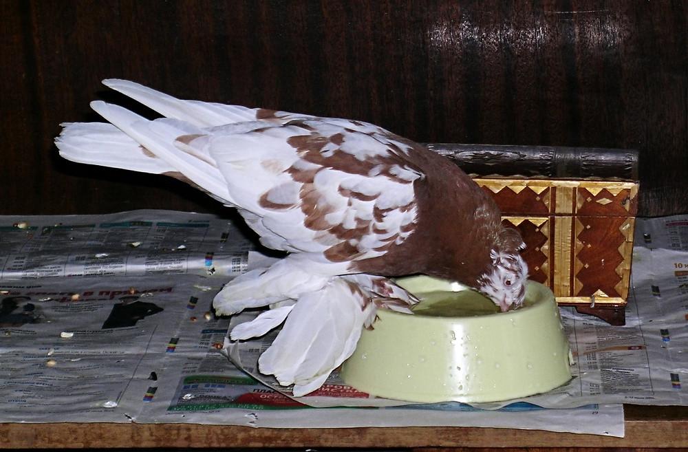 Красивый голубь. Голубь пьет воду