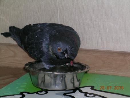 Очаровательные уличные голуби-вертячники