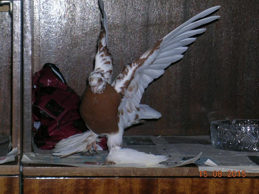 Красивый голубь машет крыльями