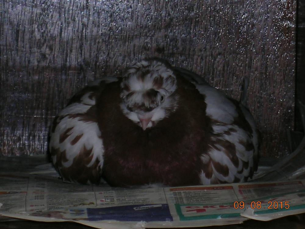 Двучубый голубь отдыхает