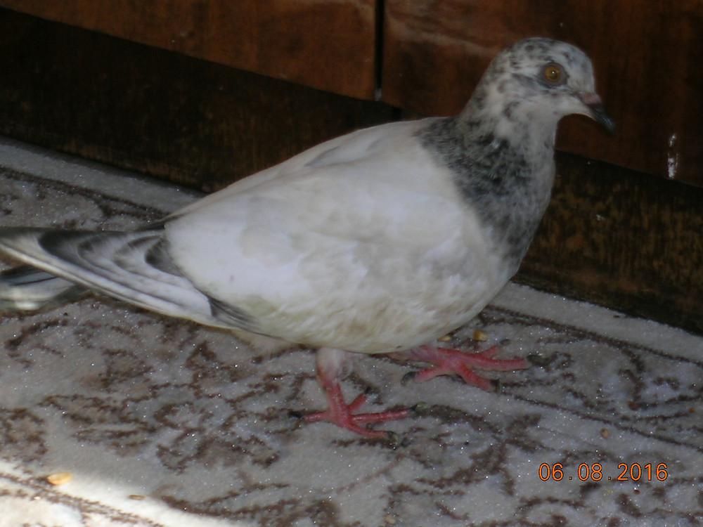 Красивый голубь. Голубь породы пакистанец, молодой голубь
