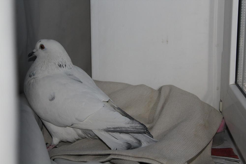 Красивый голубь породы пакистанец бакинец