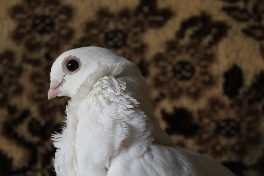 Красивый голубь. Портрет голубя. Голубь породы китайская чайка