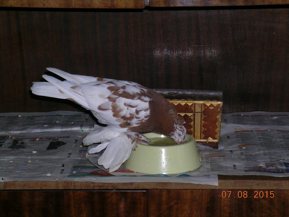 Красивый голубь. Портрет голубя. Порода узбекская декоративная