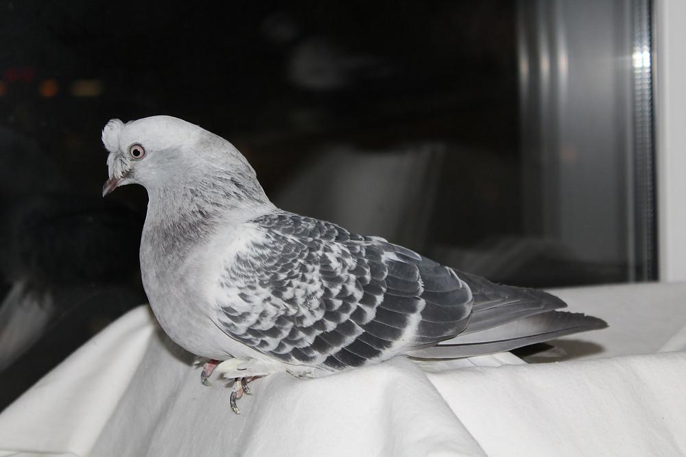 Красивый голубь. Носочубый голубь. Голубь отдыхает