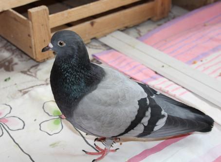 Знакомьтесь! Необычный голубь Пиф!