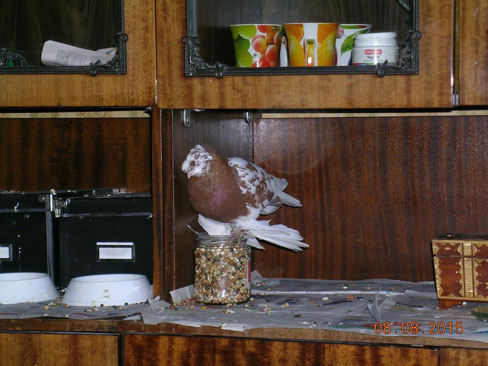 Голубь узбекской декоративной породы клюет зерно