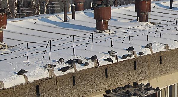 Голуби на крыше клюют снег. Крупный план