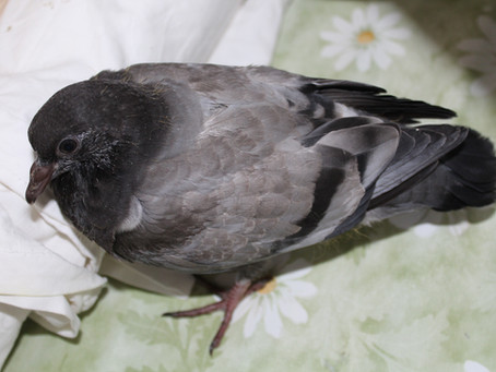 Дети голубей. Полуголубь