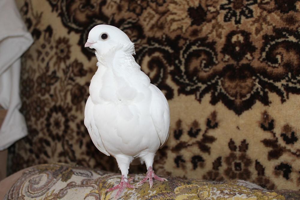 Белая голубка чайка в квартире гуляет по спинке дивана