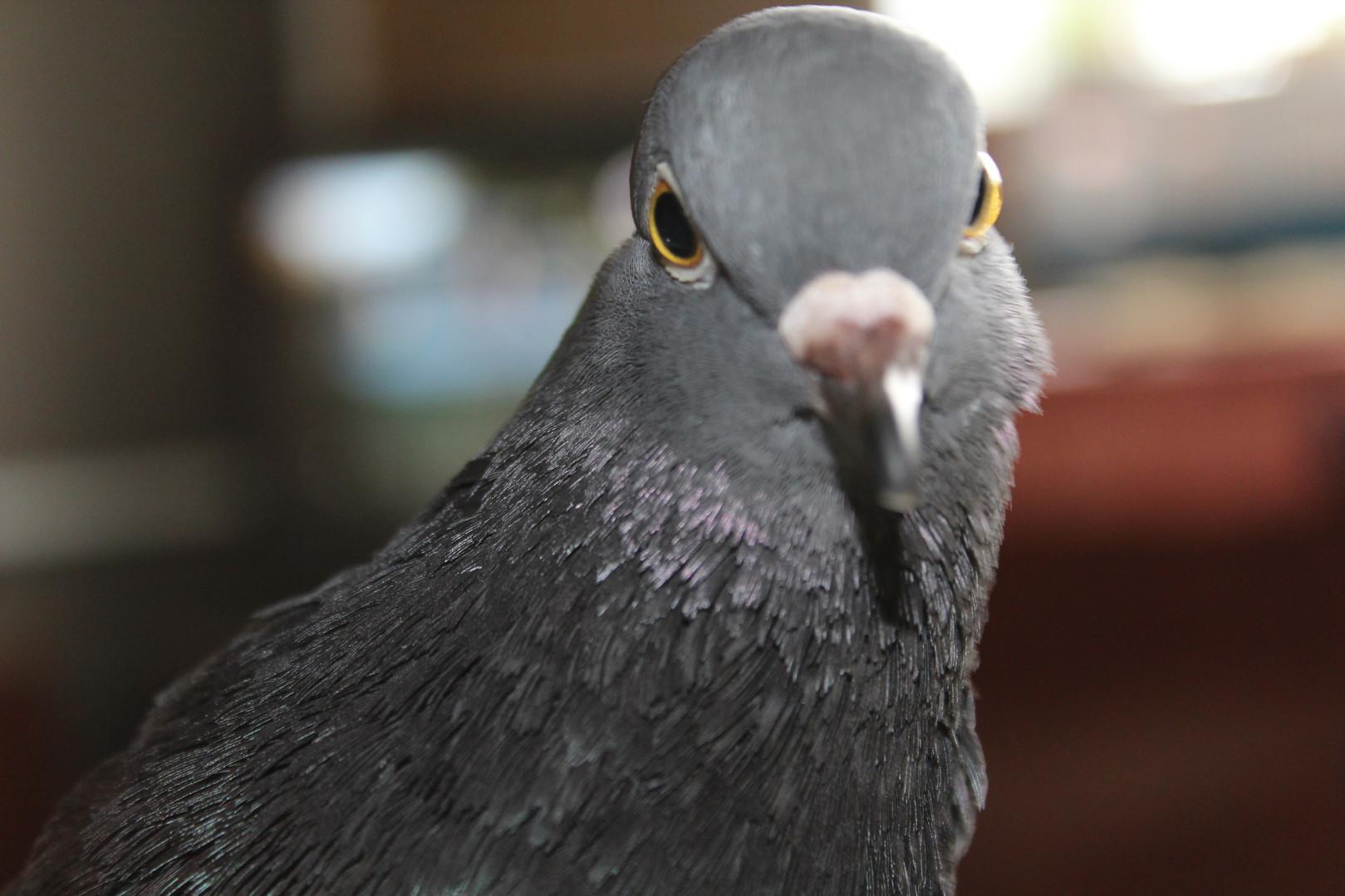 Это наш любимый уличный голубь Пиф