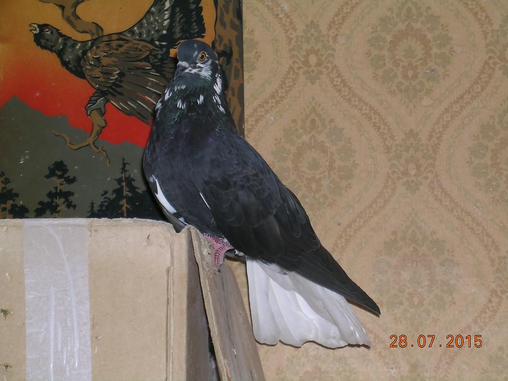 Красивый голубь. Портрет голубя. Николаевский тучерез бабочка