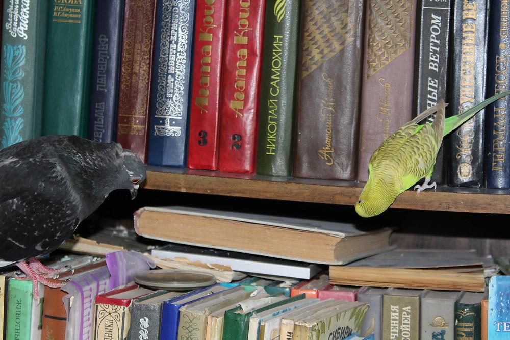 Дружба голубя и волнистого попугая