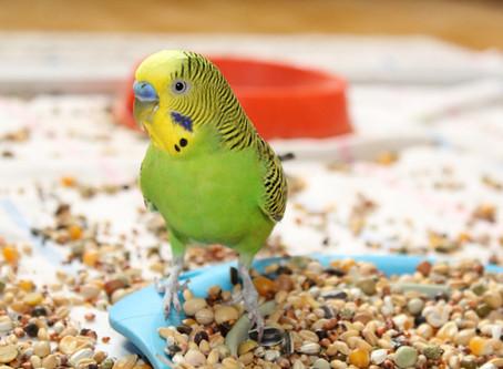 Кандидоз зоба у птиц