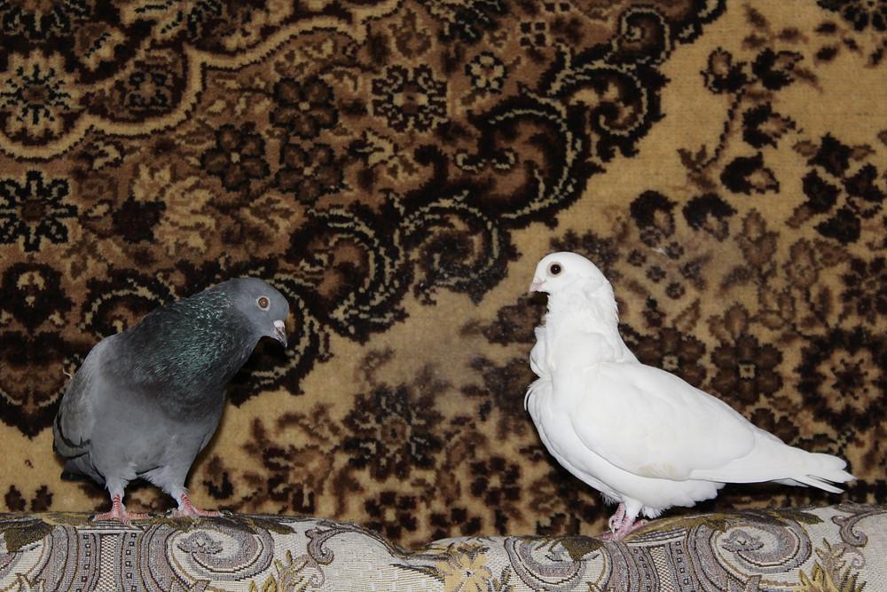 Красивый голубь. Голуби в квартире. Отношения голубей. Два голубя: уличный голубь и голубка породы чайка, окрас белый