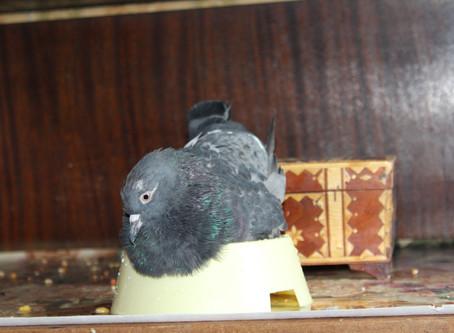 Портрет голубя-сизаря Роскосая. Фотографии и видео голубя