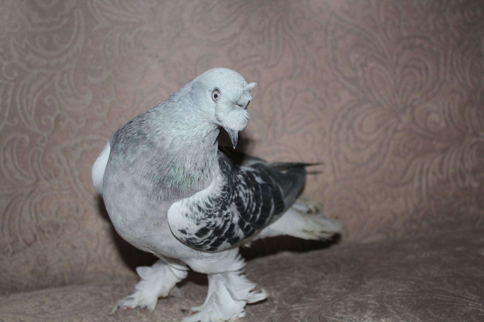 У нас новый голубь породы турецкий бойный