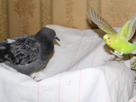 Птичьи комиксы. Волнистый попугай знакомится с голубями