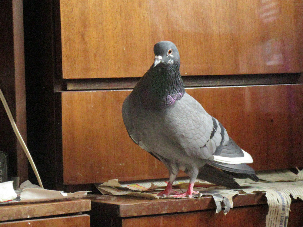 Портрет серого голубя в квартире